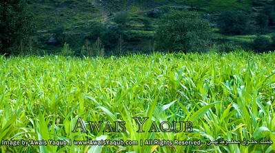 Corn fields in Kaghan.